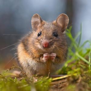 Wild-Rodent jpg